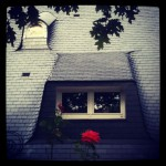 Rose de printemps Odrey